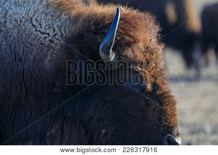 Close-up Of Bison At The Tallgrass Prairie Preserve In Pawhuska, Oklahoma