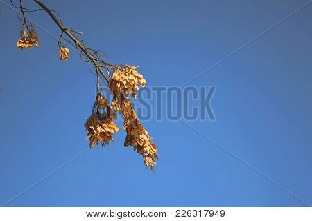 Dry Maple Seeds, On Branches In The Spring Season. Focus On Dry Seeds, Lit By A Bright Sun. Young Gr