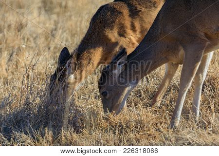 Two Young White-tailed Deer Share The Grass At The Tallgrass Prairie Preserve In Pawhuska, Oklahoma