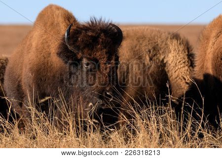A Bison Bull Stands At Aleart As Others Feed Nearby At The Tallgrass Prairie Preserve In Pawhuska, O