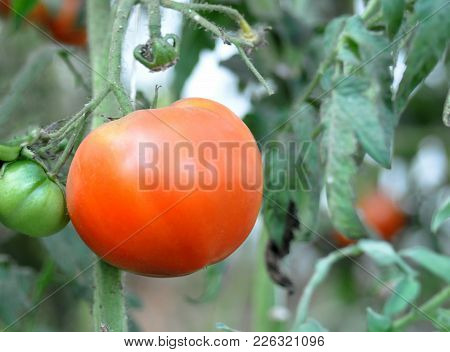 Tomatoes On The Bush To Ripen In The Greenhouse