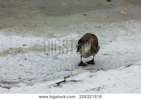 Grey Baby Swan Lonely On An Ice Of Partly Frozen River In Cloudy Winter Day