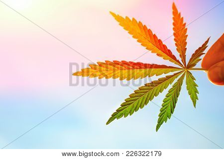 Cannabis Leaf Close Up In A Male Hand In The Setting Sun On A Blurred Background. High Quality Marij