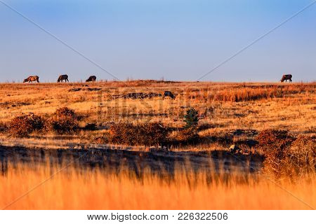 Wild Elk Gathering To Graze In The Early Morning At Wichita Mountains National Wildlife Refuge, Nove