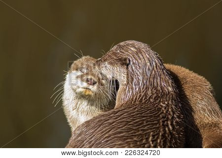 Affectionate Otters. Cute Wild Animals Bonding. Animal Love And Affection. Countryside River Mammals