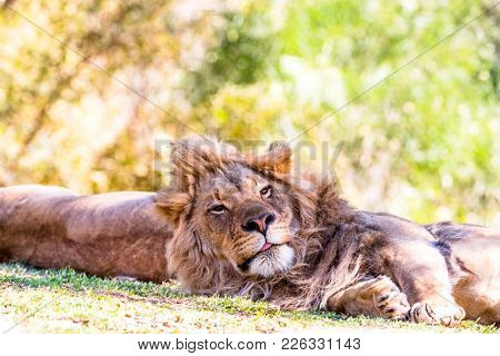 A lion rests while peering up to scan the area for intruders.