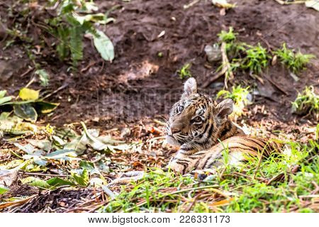 A rare and powerful Sumatran tiger rests in a shaded area during a safari