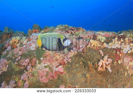 Emperor Angelfish (Pomacanthus imperator) fish on coral reef