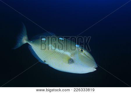 Triggerfish reef fish