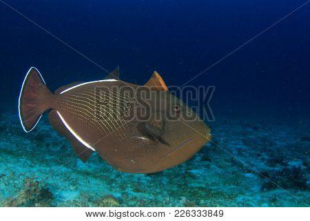 Black Triggerfish fish