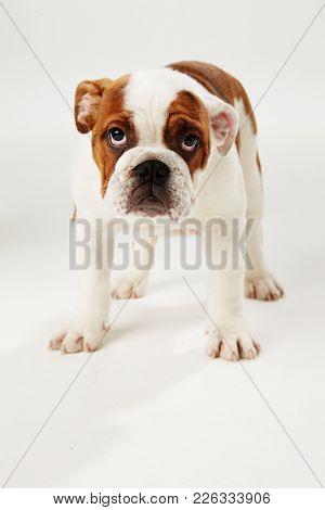 Studio Shot Of British Bulldog Puppy Sitting On White Background
