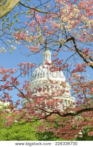 US Capitol Building among springtime tree blossoms
