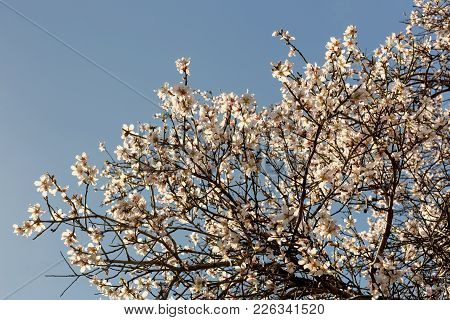 Fragrant, Flowering Almond Branches On A Sunny, Spring Day Against A Blue Sky Background