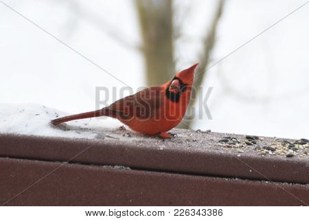 Red Male Northern Cardinal Animal Bird Turning His Head Eating Birdseed On A Back Deck Porch In Wint