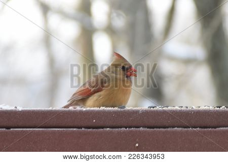 Female Northern Cardinal Animal Bird Perched On A Back Deck Porch In Winter Eating Birdseed