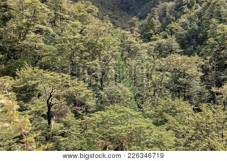 Southern Beech Trees Growing In Forest In Southern Alps, New Zealand
