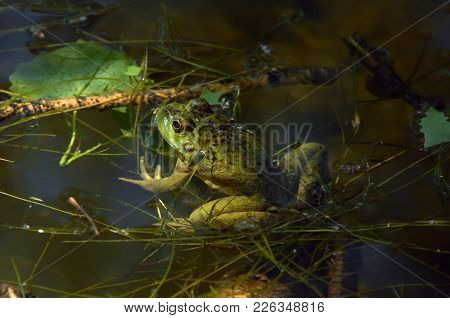 This Green Pond Frog Lazes In The Filtered Shadows On A Pond In New Mexico.  It Feels Camouflaged By