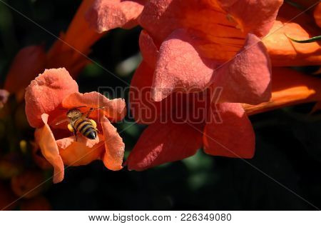 Bee Climbs Inside A Trumpet Creeper Bloom.  Orange Blossoms Attracts Bee To Visit Inside.