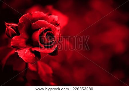 Red Rose Petals On The Red Natural Blurred Background With Clipping Path. Closeup. For Design, Textu