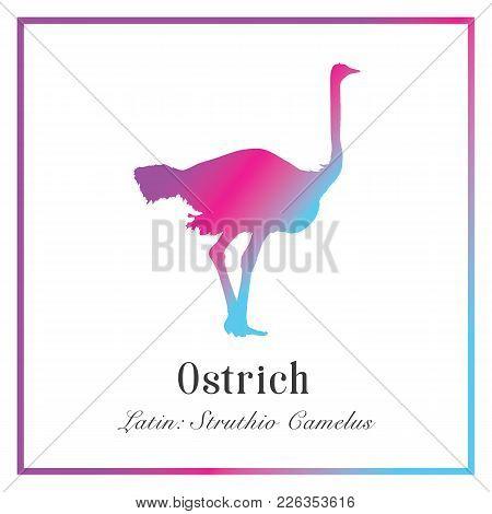 Ostrich Gradient Silhouette Illustration. Struthio Сamelus. Large Flightless Running Bird With Long