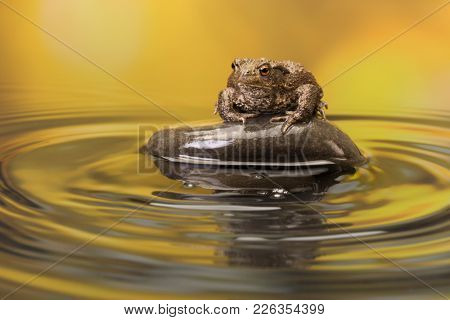 Large European Toad sitting on a pebble in a pond