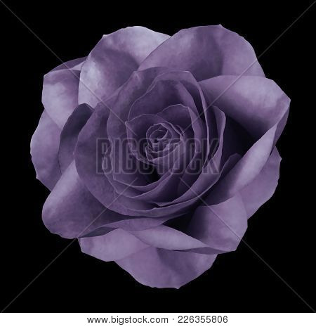 Rose Violet Flower  On The Black Isolated Background With Clipping Path.  No Shadows. Closeup.  Natu