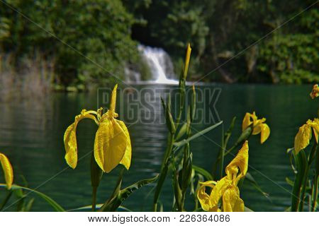 Yellow Flag (iris Pseudacorus) Yellow Iris Growing By The River