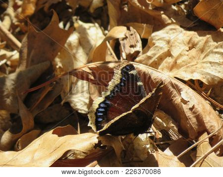 Mourning Cloak Butterfly Amidst Fall Leaves (southern California.