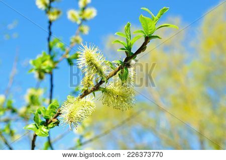 Spring Nature View Of Spring Willow Fluffy Buds Against Blue Sky. Spring Background. Spring Sunny Na