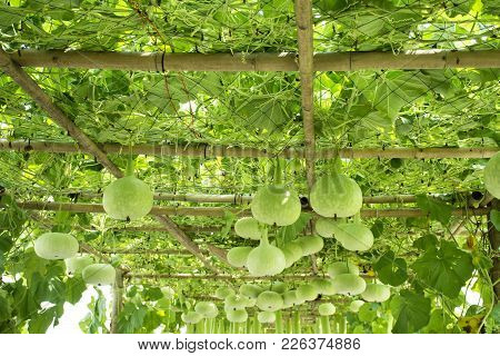 Bottle Gourd Or Calabash Plant In Garden Of Agricultural Plantation Farm At Countryside In Nonthabur