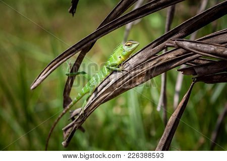 Green Lizard Relaxed On A Grass. Beautiful Closeup Animal Reptile In The Nature Wildlife Habitat, Si