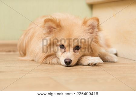 Dog Of German Spitz Breed Lies On The Floor