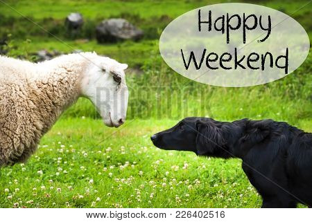 Dog Meets Sheep With Speech Balloon. English Text Happy Weekend. Green Grass Meadow In Norway.