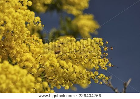 View Of Bee Pollinating A Yellow Mimosa