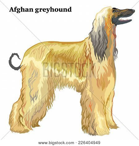 Portrait Of Standing In Profile Afghan Greyhound, Vector Colorful Illustration Isolated On White Bac