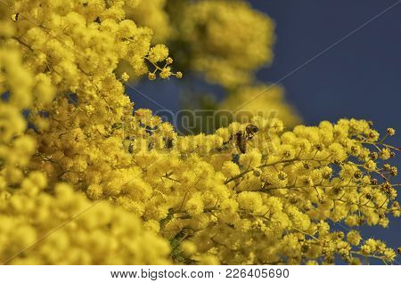 View Of Bee Pollinating An Acacia Dealbata