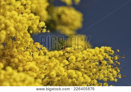 View Of A Bee Pollinating A Mimosa