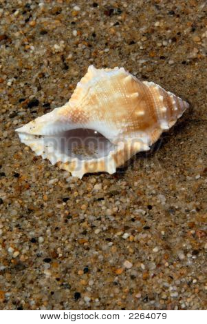 Nutmeg Seashell on Sand in Sand and Water poster