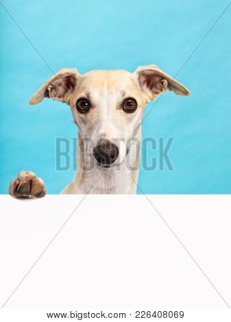 Whippet dog holding paw on blank billboard. Large copy space, aqua coloured background