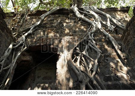 The Tree Roots Which Have Sprouted In A Stone Laying Of Walls Of Ancient Fortification Strengthening