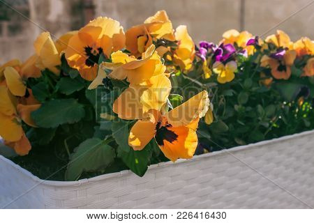 Flowers Pansies Growing Under The Open Sky. Decorative Flowerbed. Viola Tricolor In An Ornamental Pl