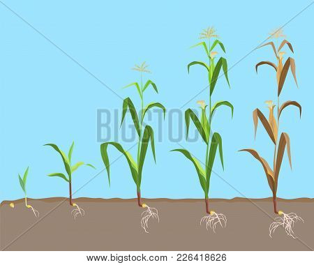 Dying Plant Of Sweet Corn From Small Sprout Till Dried Plant, Cycle Of Corn-flower Growth Vector Ill