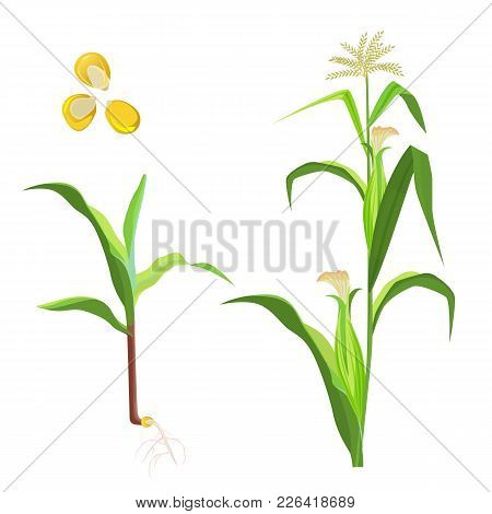Sweet Corn Flowering Plant And Seeds Vector Illustration Isolated On White Background. Pole Corn Veg