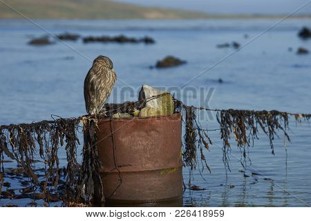 Juvenile Black-crowned Night-heron (nycticorax Nycticorax Falklandicus) Standing On An Old Oil Drum