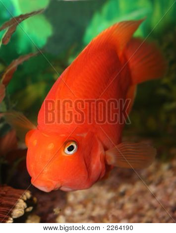 Red Parrot Fish.
