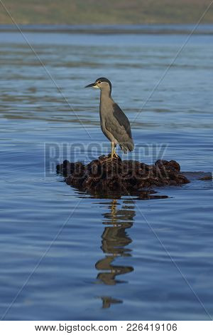 Black-crowned Night-heron (nycticorax Nycticorax Falklandicus) Standing On A Pile Of Rusty Chain On