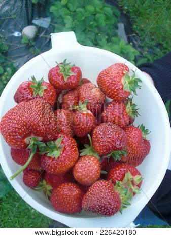 Bright Red And Sweet Norwegian Strawberries Fresh Picked From The Ground