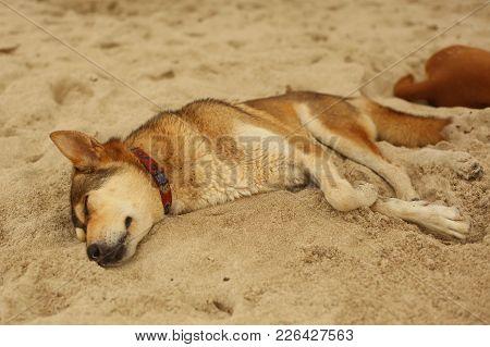 Dog Sleeping On Beach Send In Hot Asian Day On Siesta
