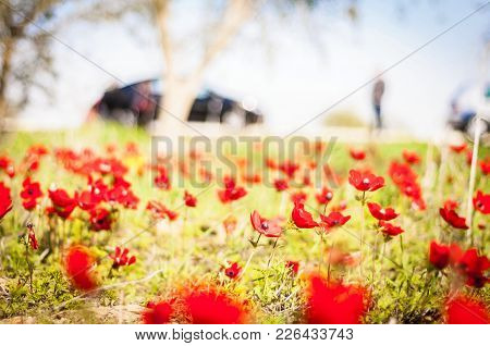 Red Anemones In Blossom In The Negev Desert, Israel. People Come From Far Away To See The Flowering