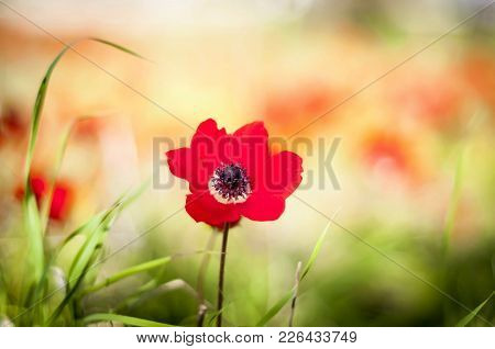 Red Anemones Isolated In The Negev Desert In Israel.
